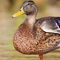 Quack Like a Duck Fix Discount - Friday July 29th